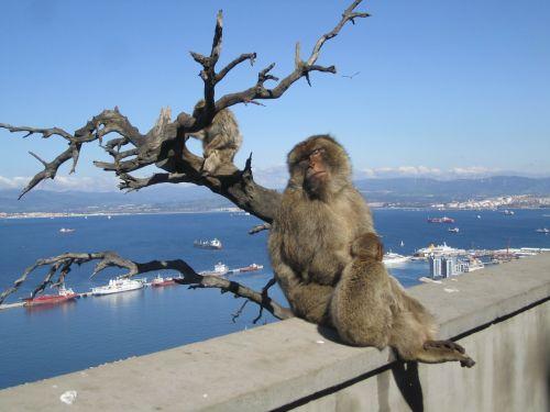 gibraltar monkeys mediterranean sea