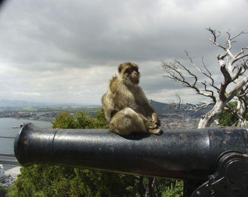 gibraltar monkey cannon