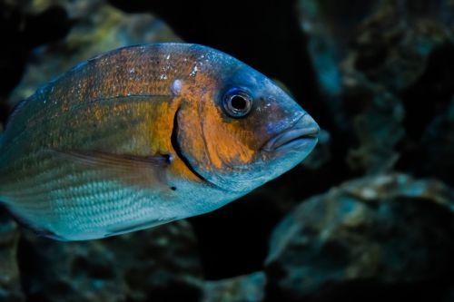 gilt-head bream fish animal