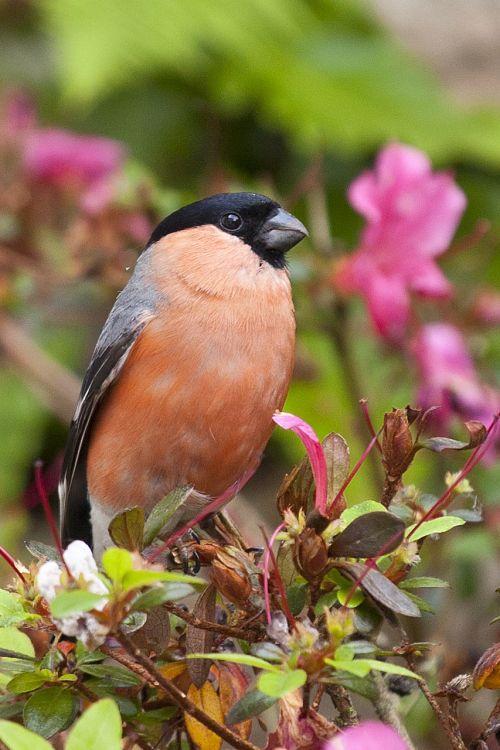 gimpel bird nature