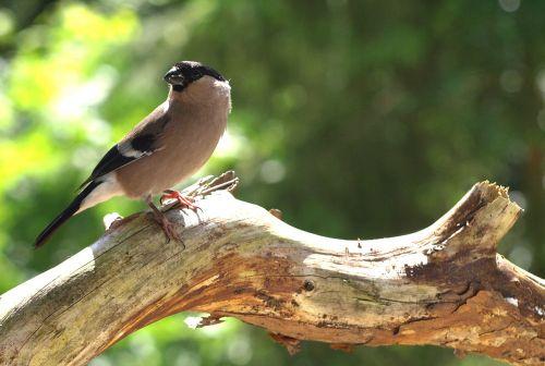 gimpel female bird
