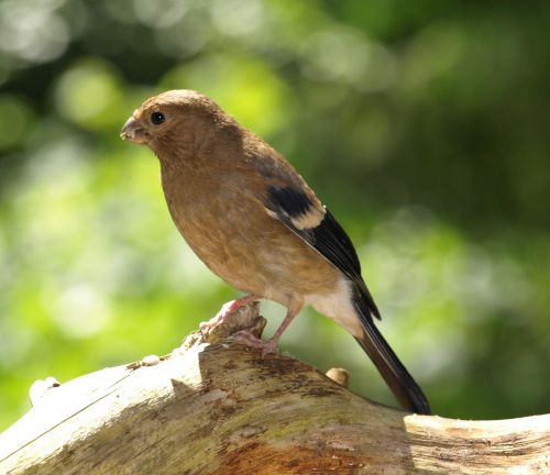 gimpel bullfinch blood fink