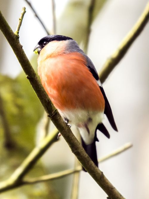 gimpel bullfinch bird