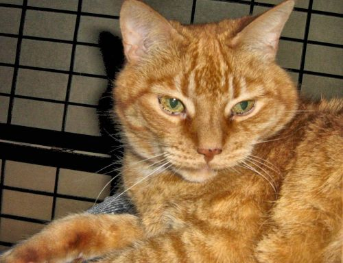 ginger domestic short haired cat
