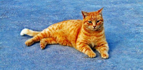 katė, imbieras, mielas, kačių, poilsio, naminis gyvūnėlis, gyvūnas, purus, žavinga, atsipalaiduoti, mielas, mielas & nbsp, katinas, vidaus, poilsis, kačiukas, imbiero katė