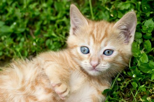 ginger kitten red kitten tabby kitten