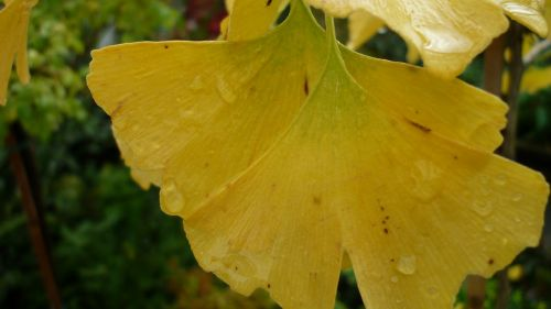 gingko,leaves,fall color,yellow,tree,medicinal herb,goethe-tree,rain