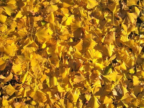 gingko tree,maidenhair tree,yellow,autumn,fallen leaves,golden,carpet,otsu park,yokosuka,kanagawa,japan