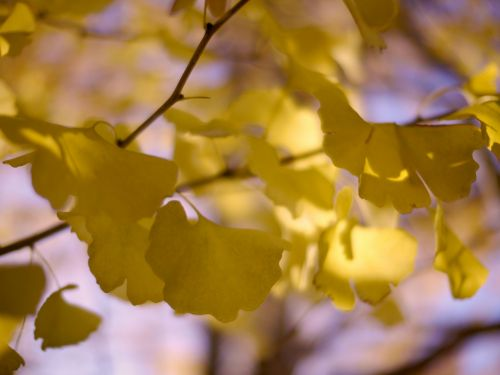 gingko tree,huang,wood,autumn,leaf