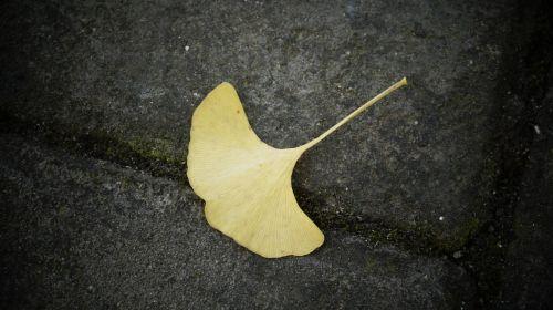 ginkgo defoliation dead leaves