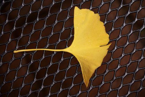 ginkgo ginkgo leaf autumn