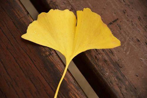 ginkgo ginkgo leaf yellow