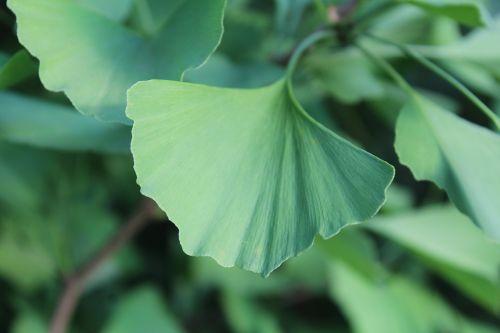 ginkgo leaf green