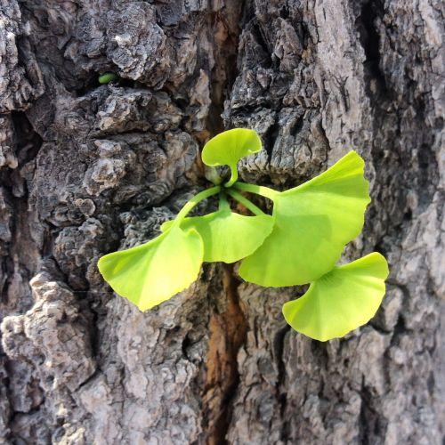 ginkgo leaf bud