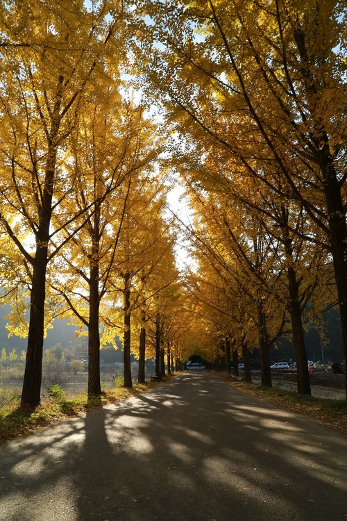 ginkgo  autumn leaves  morning