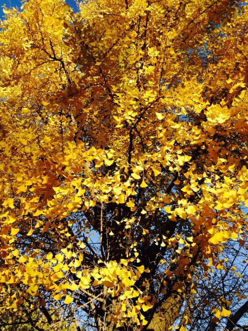 ginkgo ginkgo trees yellow ginkgo tree