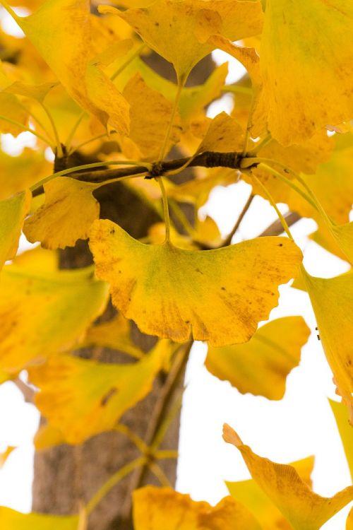 ginkgo autumn yellow