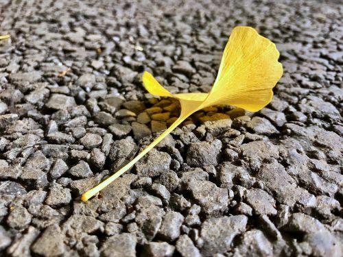 ginkgo biloba autumn yellow