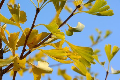 ginkgo biloba ginkgo yellow leaves