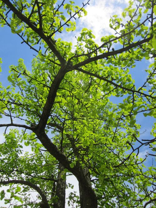 ginkgo biloba,ginko,maidenhair tree,tree,branches,foliage,flora,botany,plant,species