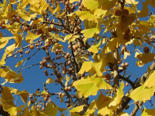 ginkgo biloba,ginkgo,maidenhair tree,leaves,fruits,foliage,flora,botany,tree,plant