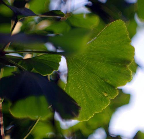 ginkgo japanese ginkgo biloba leaf