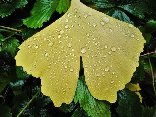ginkgo leaf raindrop fan-shaped leaf