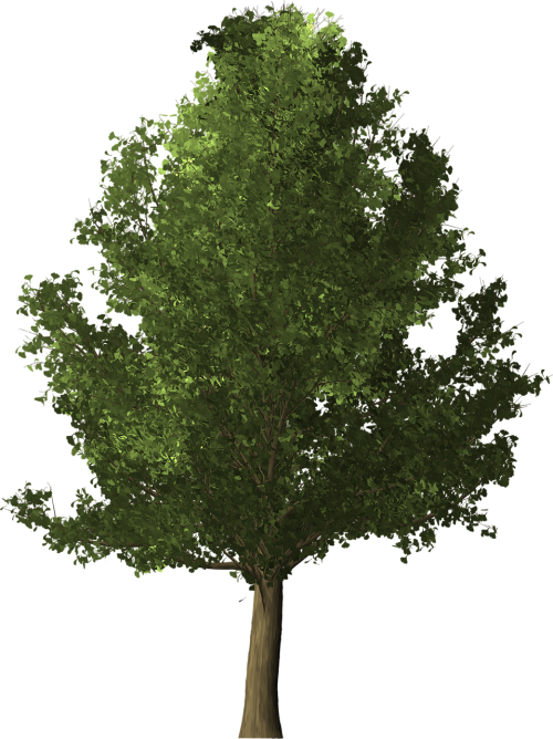 ginkgo tree ginkgo tree