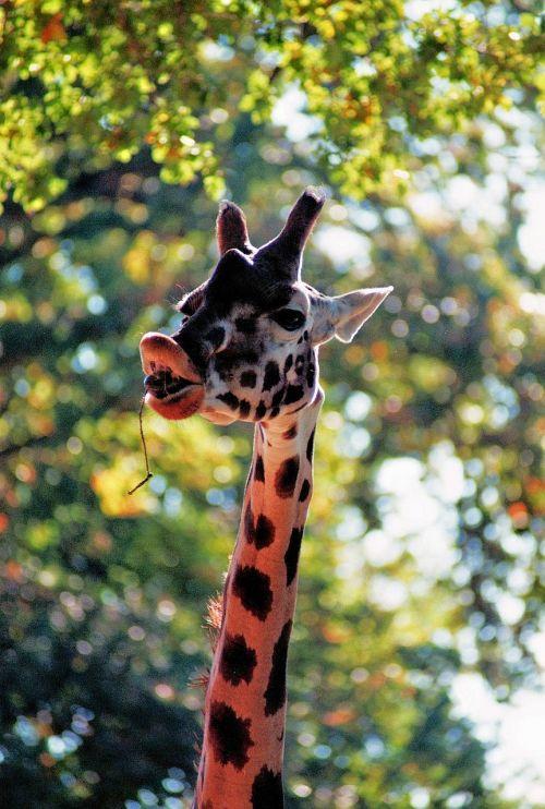 giraffe zoo animal