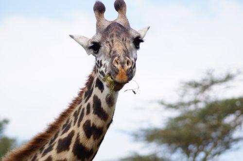 giraffe eating giraffe neck