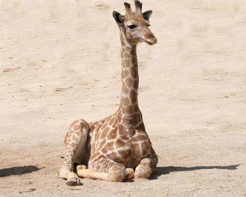 giraffe baby giraffe mammal