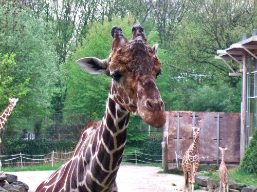 giraffe mammal zoo
