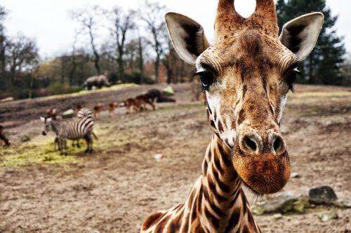 giraffe zebra africa