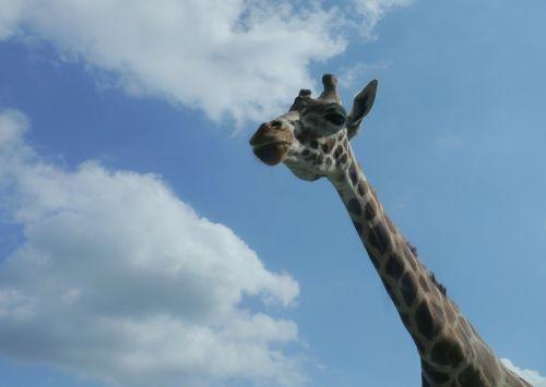 giraffe africa serengeti