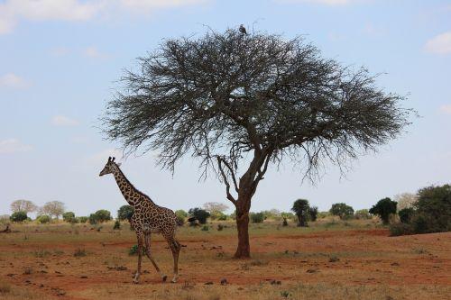 giraffe safari kenya