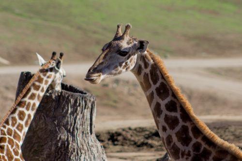 giraffe funny tongue