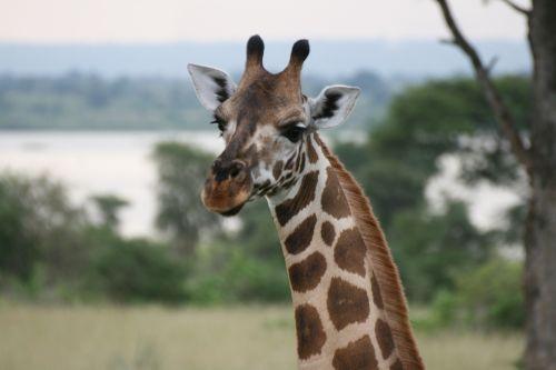 giraffe uganda animal
