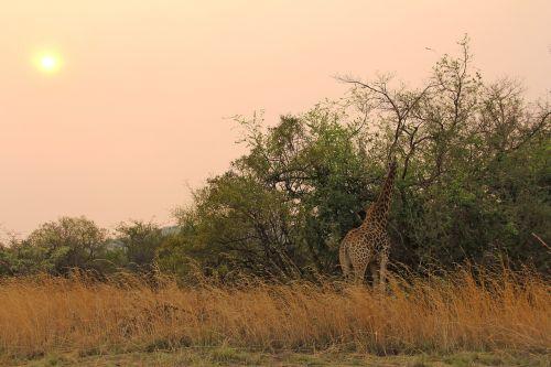 giraffe sunset exciting