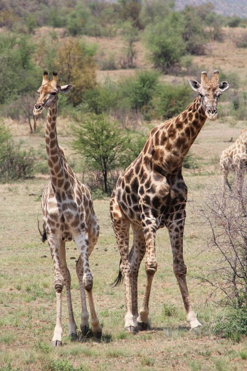 giraffe exciting adventure