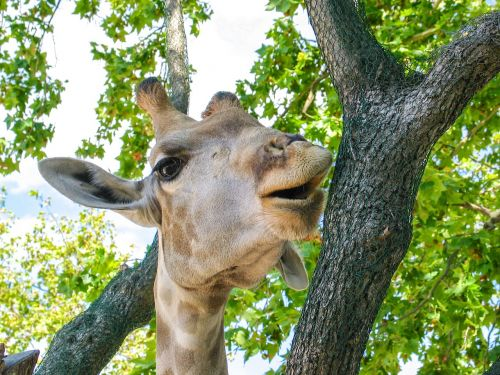 giraffe animal africa