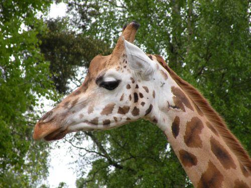 giraffe watch scout