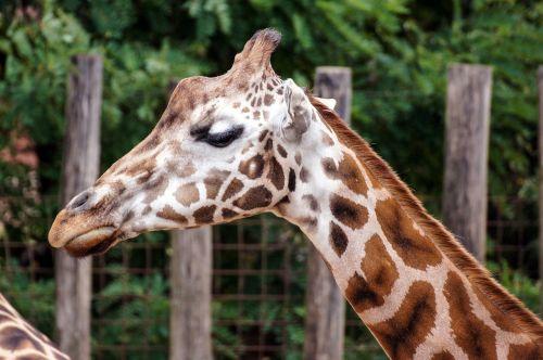 giraffe zoo mammal