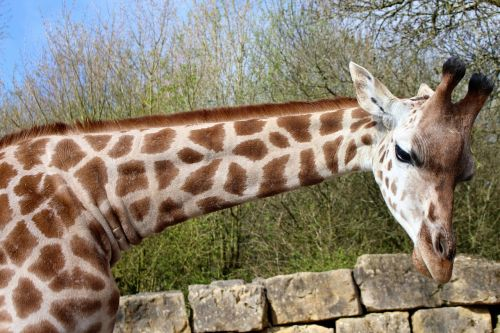 giraffe long neck animal