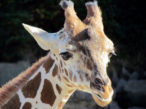 giraffe portrait head