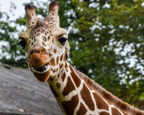 giraffe zoo wilhelma