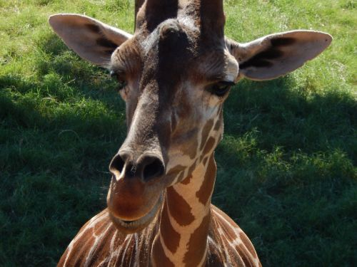 giraffe face animal