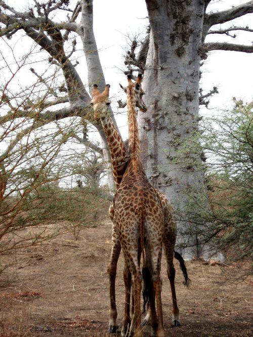 giraffe africa senegal