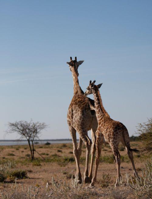 giraffe wild safar