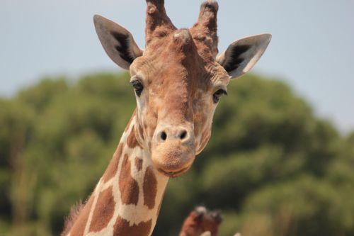 giraffe africa savannah