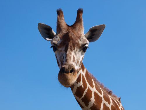 giraffe africa south africa